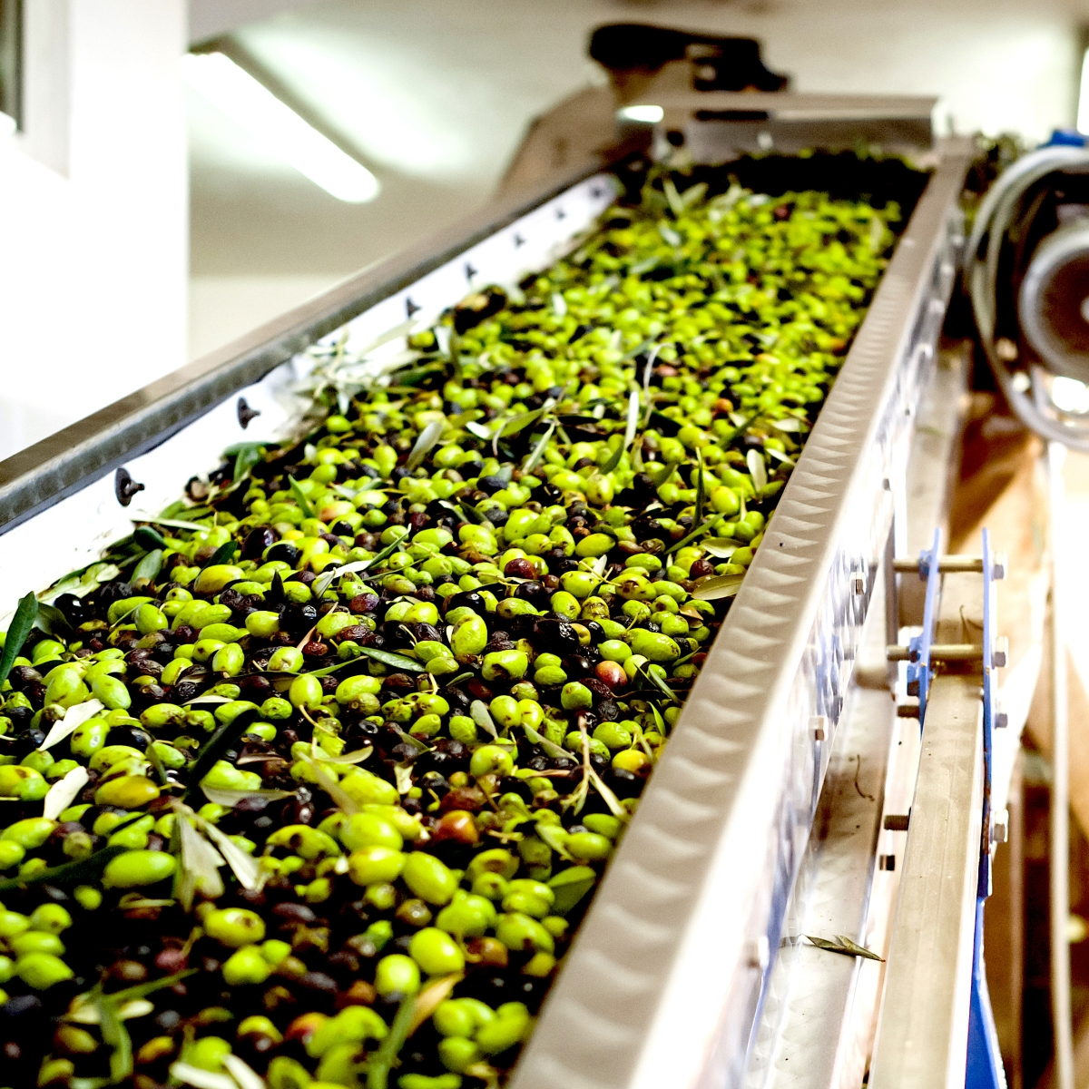 the making of olive oil